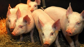 Are Genetically Modified Pigs Next After FDA Approves Salmon?