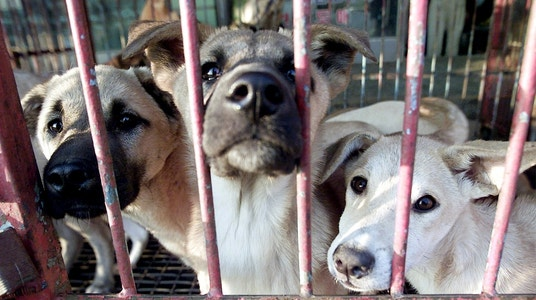 Millions of Dogs Are Being Killed Yearly:                         Here's Why