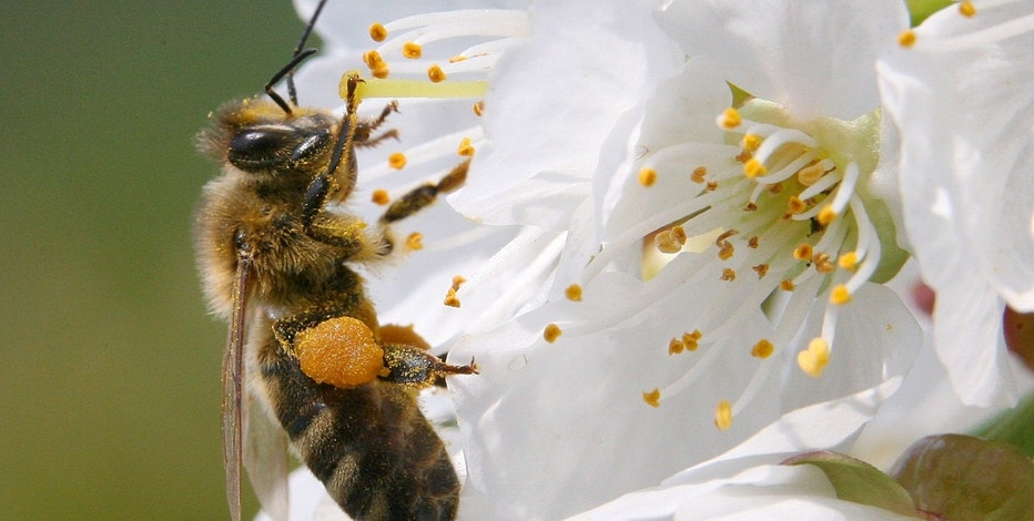 A bee collects pollen from a cherry tree in village Studencice, central Slovenia, April 25, 2006. REUTERS/Srdjan Zivulovic - RTR1CS7F