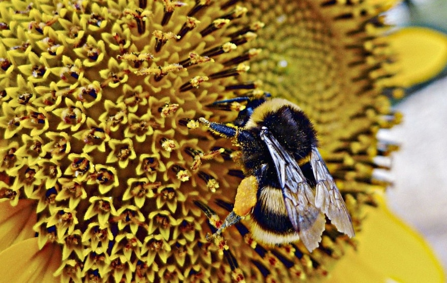Start-Up Bets on Bumble Bees to Solve Global Food Shortage thumbnail