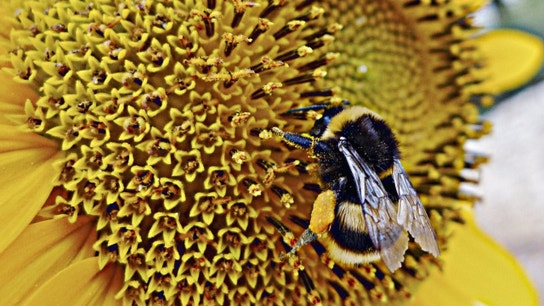 Start-Up Bets on Bumble Bees to Solve Global Food Shortage