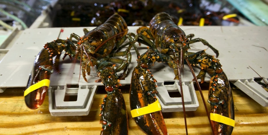 FILE - In this June 12, 2015 file photo, lobster are seen at the Clam Shack in Kennebunkport, Maine. The state's lobstermen set a record for the value of the lobster catch for the seventh year in a row. Maine lobsters were worth a little more than $533 million at the docks in 2016, exceeding the previous year's record total by more than $30 million, Marine Resources Commissioner Patrick Keliher said. (AP Photo/Robert F. Bukaty, File)