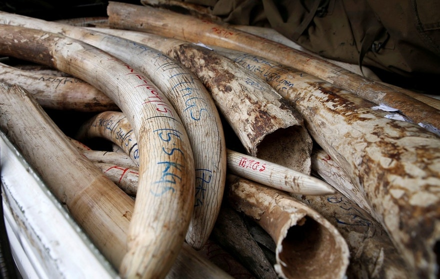Elephant tusks are loaded on a pick-up truck at the Kenya Wildlife Service (KWS) headquarters as part of an estimated 106 tonnes of confiscated ivory to be set ablaze in Kenya's capital Nairobi April 15, 2016. REUTERS/Thomas Mukoya - RTX2A3QF