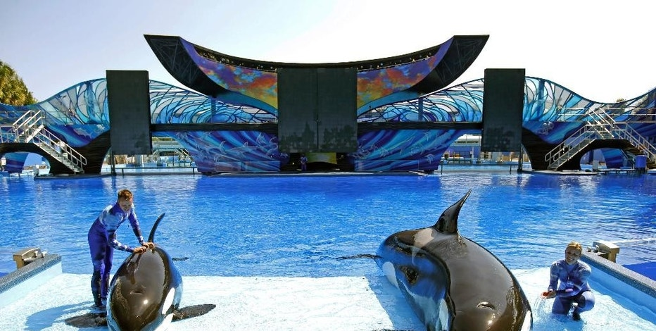 In this April 10, 2014 photo, SeaWorld trainer Ryan Faulkner, left, with killer whale Melia, and Michelle Shoemaker, right, with Kayla work on a routine for a show at the Orlando, Fla. theme park. SeaWorld suffered a decline in attendance during its most recent quarter, the company reported Thursday, Aug. 6, 2015, as the amusement park operator struggled to restore its image amid a withering public campaign by animal activists. (AP Photo/John Raoux, File)