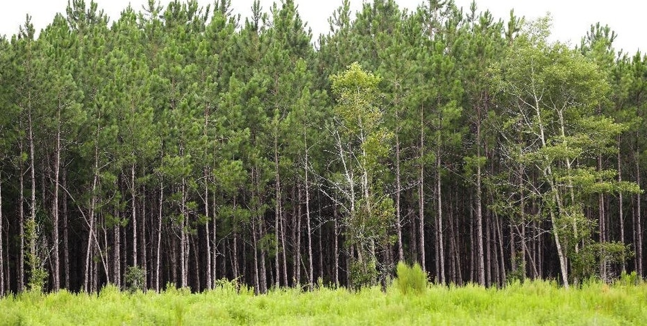 Northeast florida seems boom in demand for longleaf pine for Pine tree timber