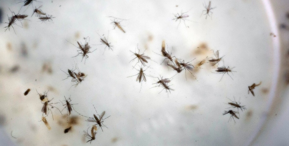 File photo of aedes aegypti mosquitoes in a mosquito cage at a laboratory in Cucuta, Colombia.