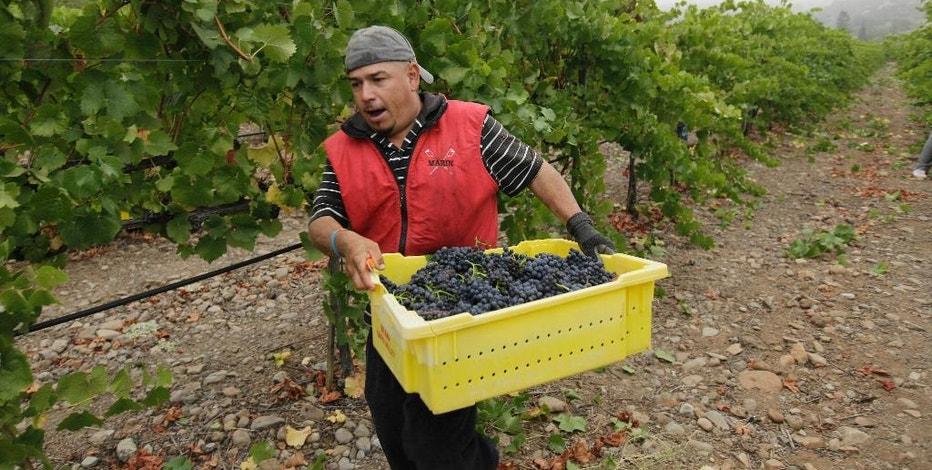 FILE -- In this Aug. 29, 2011, file photo, a picker rushes a bin of pinot noir grapes to a trailer after they were picked at the Game Farm vineyard on the first day of harvest for Mumm Napa in Oakville, Calif. The state Senate approved AB1066, by Assemblywoman Lorena Gonzalez, D-San Diego, Monday, Aug. 22, 2016, that would require farmworkers to receive overtime after working eight hours. The measure now goes to the Assembly.(AP Photo/Eric Risberg, File)
