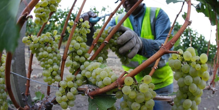 FILE -- In this Aug. 28, 2013, file photo, Chardonnay grapes are picked in the Stelling Vineyard at Far Niente winery Wednesday morning, in Oakville, Calif. The state Senate approved AB1066, by Assemblywoman Lorena Gonzalez, D-San Diego, Monday, Aug. 22, 2016, that would require farmworkers to receive overtime after working eight hours. The measure now goes to the Assembly. (AP Photo/Eric Risberg, File)