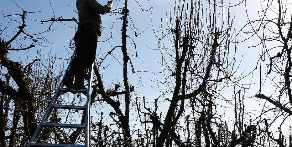 In this photo taken Feb. 23, 2016, a farmworker trims a tree near Locke, Calif. The state Senate approved AB1066, by Assemblywoman Lorena Gonzalez, D-San Diego, Monday, Aug. 22, 2016, that would require farmworkers to receive overtime after working eight hours. The measure now goes to the Assembly. (AP Photo/Rich Pedroncelli).