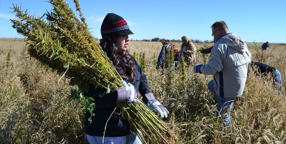 FILE - In this Oct. 5, 2013 file photo, volunteers harvest hemp during the first known harvest of the plant in more than 60 years, in Springfield, Colo. Colorado is expected to reach another national first on cannabis Wednesday, Sept. 7, 2016, when state agriculture officials show off the first domestic certified hemp seeds. The Colorado Department of Agriculture has been working for years to produce hemp seeds that consistently produce plants low enough in the chemical THC to qualify as hemp and not its intoxicating cousin, marijuana. (AP Photo/P. Solomon Banda, File)