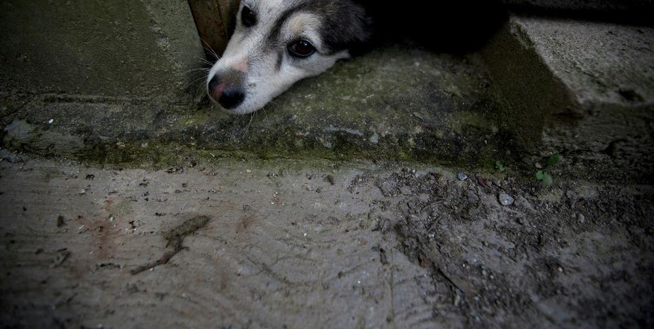 In this July 21, 2016 photo, an abandoned dog pokes his head out from under a door at the private shelter Funasissi, in the working-class Caracas neighborhood of El Junquito, Venezuela. As the country's economic crisis deepens, food shortages and rising poverty are forcing once-middle-class Venezuelans to do the unthinkable and let their pets starve, or abandon them in the streets. (AP Photo/Fernando Llano)