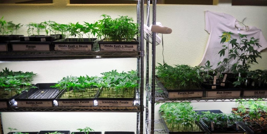 FILE – This Oct. 29, 2009, file photo shows trays of marijuana clones and gardening supplies underneath grow lights at the Peace in Medicine dispensary in Sebastopol, Calif. Uncertainty prevails in Ohio as a law legalizing medical marijuana under very limited circumstances is set to take effect Thursday, Sept. 8, 2016. (AP Photo/Russel A. Daniels, File)