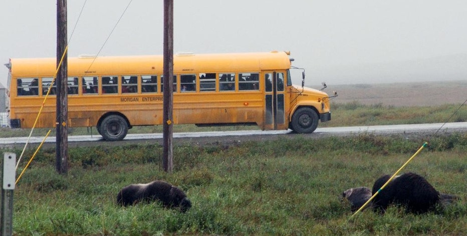 This Aug. 21, 2016, photo shows Crystal Serenity passengers on a school bus, viewing part of a herd of wild musk oxen that had taken up residence just outside Nome, Alaska. The luxury cruise ship was not only the the largest ever to visit Nome, but also the biggest to go through the Northwest Passage. (AP Photo/Mark Thiessen)