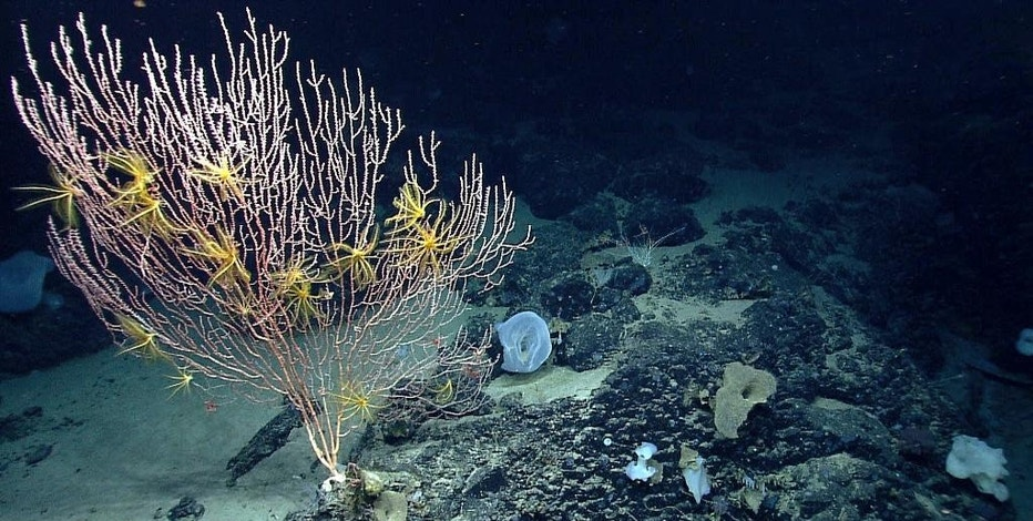 FILE - This undated file photo released by the National Oceanic and Atmospheric Administration made during the Northeast U.S. Canyons Expedition 2013, shows corals on Mytilus Seamount off the coast of New England in the North Atlantic Ocean. President Barack Obama will establish Sept. 15, 2016, the first national marine monument in the Atlantic. The move is designed to permanently protect nearly 5,000 square miles of underwater canyons and mountains off the coast of New England. White House officials say the designation will ban commercial fishing, mining and drilling, though a 7-year exception will occur for the lobster and red crab industries. The designation of the Northeast Canyons and Seamounts Marine National Monument marks the 27th time Obama has acted to create or expand a national monument.  (NOAA Office of Ocean Exploration and Research via AP, File)