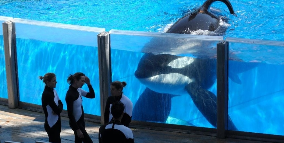 FILE - In this Monday, March 7, 2011, file photo, killer whale Tilikum, right, watches as SeaWorld Orlando trainers take a break during a training session at the theme park's Shamu Stadium in Orlando, Fla. Troubled theme park operator SeaWorld says it will soon stop paying its shareholders a quarterly dividend. It will pay its last dividend on Oct. 7, 2016, and the amount it pays will be cut 52 percent to 10 cents from 21 cents in the previous quarter. (AP Photo/Phelan M. Ebenhack, File)