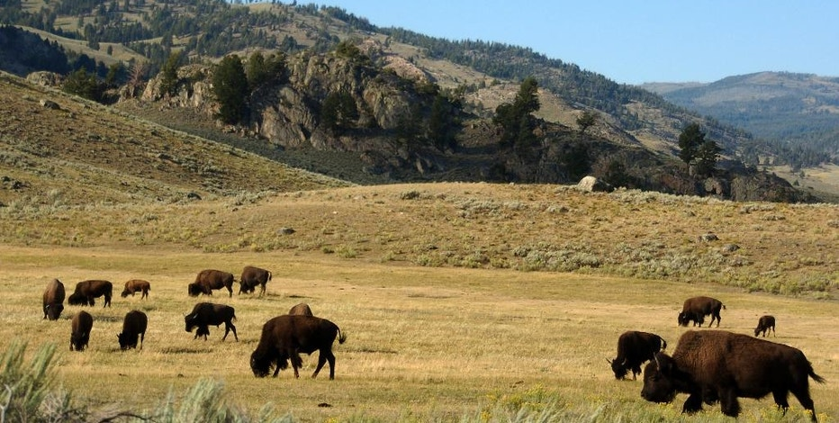 FILE - In this Aug. 3, 2016 file photo, a herd of bison grazes in the Lamar Valley of Yellowstone National Park in Wyo. Park administrators appear to have lost ground on a 2009 pledge to minimize cell phone access in backcountry areas. Signal coverage maps for two of Yellowstone's five cell phone towers show calls can now be received in large swaths of the park's interior such as the picturesque Lamar Valley. The maps were obtained by a Washington, DC-based advocacy group, Public Employees for Environmental Responsibility. (AP Photo/Matthew Brown, File)