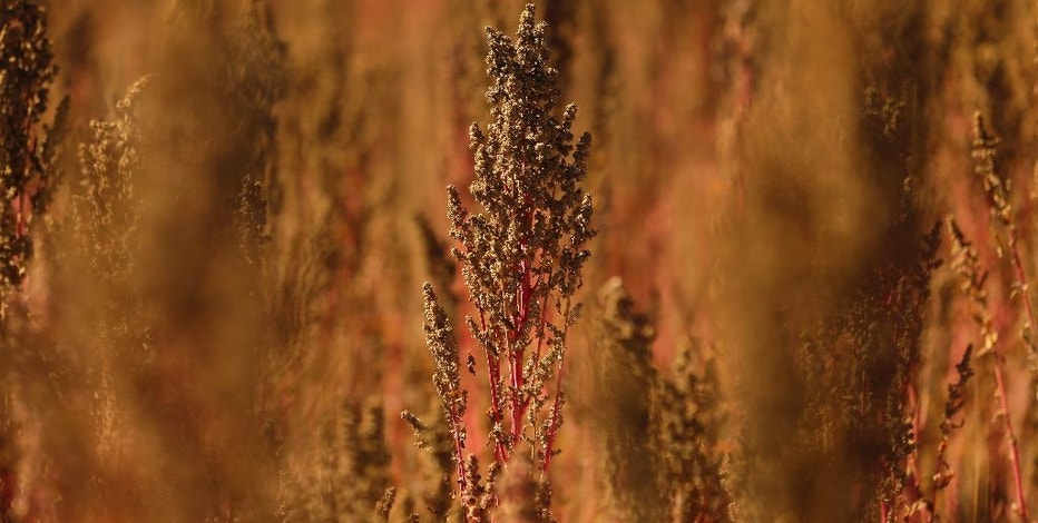 In this Sept. 13, 2016 photo, a stalk of quinoa grows in a field farmed by Sam McCullough, near Sequim, Wash. Quinoa, a trendy South American grain, barely has a foothold in American agriculture, but a handful of farmers and university researchers are working toward changing that. (AP Photo/Ted S. Warren)