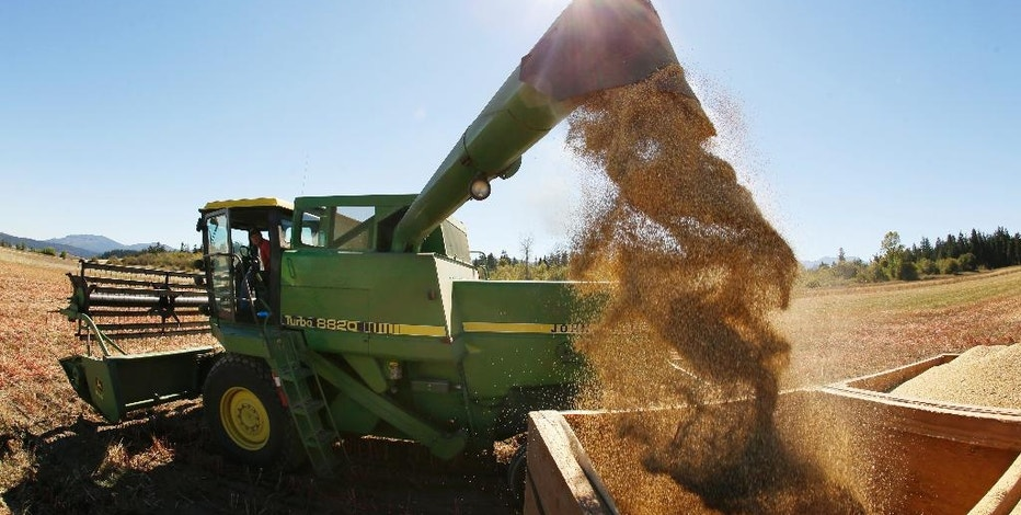 In this Sept. 13, 2016 photo, farmer Sam McCullough discharges quinoa from his combine into a container on a truck near Sequim, Wash. Quinoa, a trendy South American grain, barely has a foothold in American agriculture, but a handful of farmers and university researchers are working toward changing that. (AP Photo/Ted S. Warren)