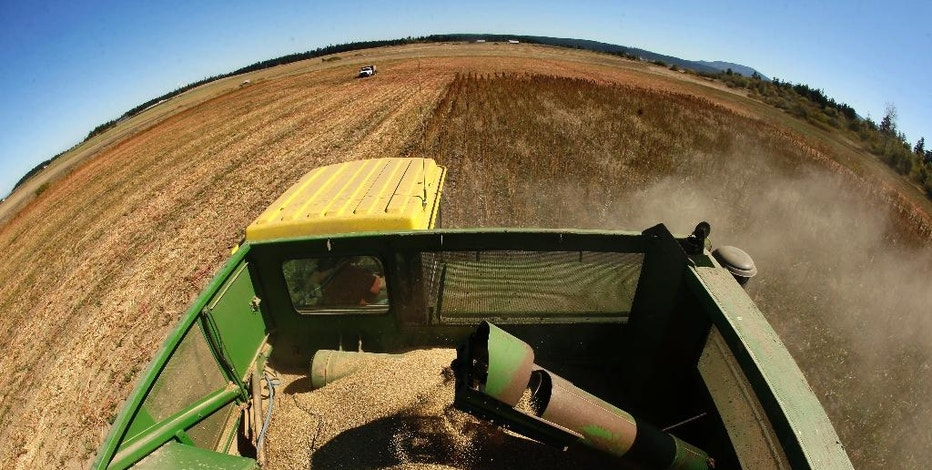 In this Sept. 13, 2016 photo made with a fisheye lens, farmer Sam McCullough uses his combine to harvest quinoa near Sequim, Wash. Quinoa, a trendy South American grain, barely has a foothold in American agriculture, but a handful of farmers and university researchers are working toward changing that. (AP Photo/Ted S. Warren)