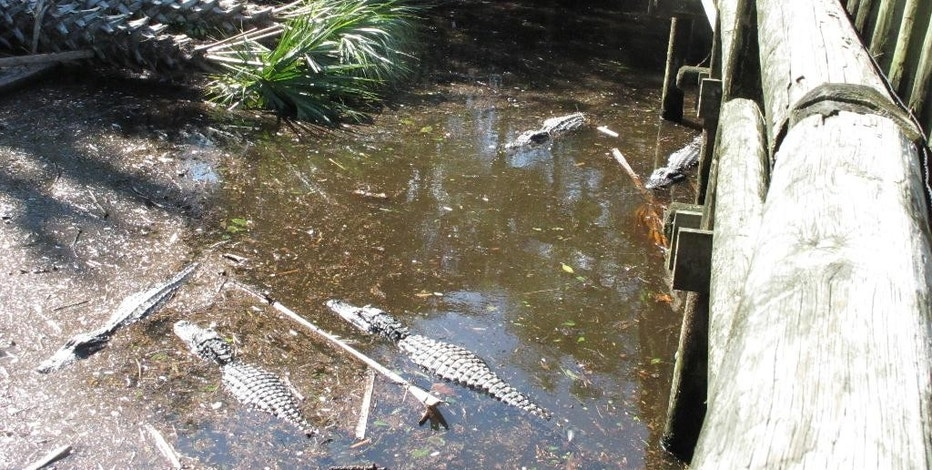 A group of alligators gathers near palm trees that fell during Hurricane Matthew at the St. Augustine Alligator Farm in St. Augustine, Fla., Sunday, Oct. 9, 2016. The zoo remains closed while workers cleared debris on Sunday.  (AP Photo/Brendan Farrington)