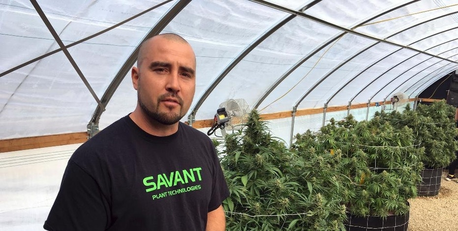 James Knox, president of Savant Plant Technologies that sells supplies to growers stands ear Marijuana plants in Corvallis, Ore., Sept. 30, 2016. Knox says that when an adjacent county put a moratorium on pot businesses, six of his top customers who were marijuana growers left, causing a 40-percent drop in his company's gross revenue. (AP Photo/Andrew Selsky)