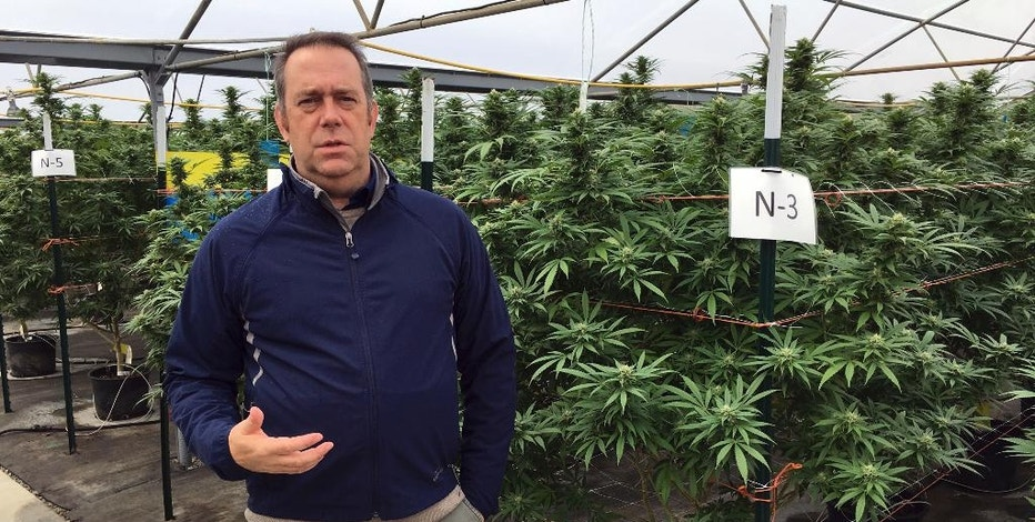 Beau Whitney, a vice president of Golden Leaf, a cannabis company, discusses on the company's 97-acre property near Aurora, Ore., on Oct. 4, 2016 how a county ban on recreational marijuana has harmed the company's business. Whitney stands in a greenhouse with marijuana grown for medical patients. (AP Photo/Andrew Selsky)