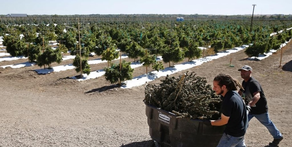 FILE - In this Oct. 4, 2016, file photo, farmworkers transport newly-harvested marijuana plants, at Los Suenos Farms, America's largest legal open air marijuana farm, in Avondale, southern Colo.  Opponents of a state ruling that would prevent bars and many restaurants in Denver from offering on-site marijuana consumption said the ruling would overturn a law approved by voters and force people to sneak around while they use pot and consume alcohol. The new rule announced Friday, Nov. 18  by the Liquor Enforcement Division of the Colorado Department of Revenue bars liquor-license holders from applying for a permit to allow the consumption of pot.. (AP Photo/Brennan Linsley, File)