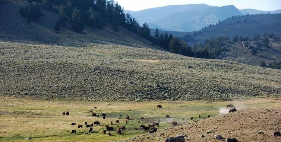 FILE -  In This Aug. 26, 2016, file photo, a herd of bison appears in Yellowstone National Park's Lamar Valley in Montana. U.S. officials plan to block new mining claims outside Yellowstone National Park as the Obama administration races in its last days to keep industry out of pristine and environmentally sensitive areas. Mining claims on 30,000 acres north of the nation's first national park would be prohibited for at least two years while a long-term ban is considered. (AP Photo/Matthew Brown, File)