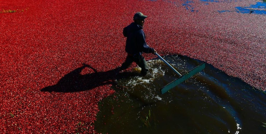 In this Oct. 11, 2016 photo, farmworker Felix Barrveta uses a paddle to move cranberries during harvest in Ilwaco, Wash. This year's estimated crop of about 170,000 barrels (8,500 tons) of cranberries puts the apple-giant state fifth in the U.S. behind Wisconsin and Massachusetts, the two states that produce the bulk of the crop. (AP Photo/Ted S. Warren)