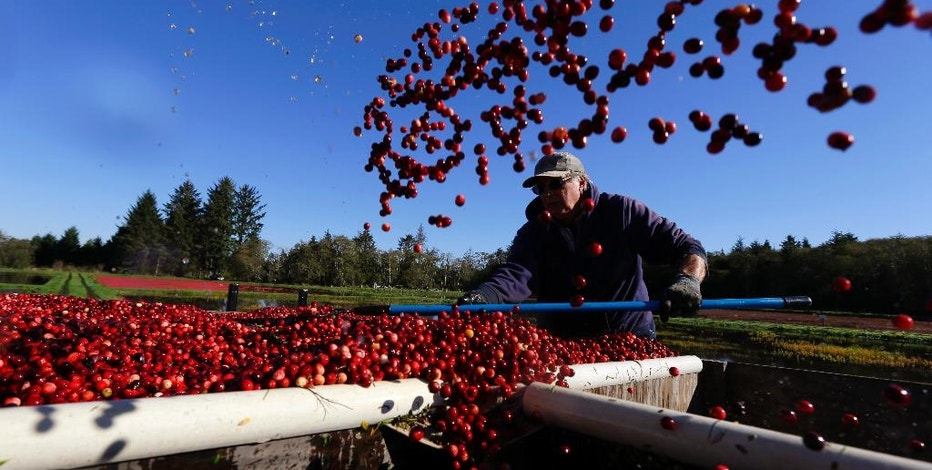 In this Oct. 11, 2016 photo, farmworker Blane Sanders guides cranberries into boxes during harvest in Ilwaco, Wash. This year's estimated crop of about 170,000 barrels (8,500 tons) of cranberries puts the apple-giant state fifth in the U.S. behind Wisconsin and Massachusetts, the two states that produce the bulk of the crop. (AP Photo/Ted S. Warren)