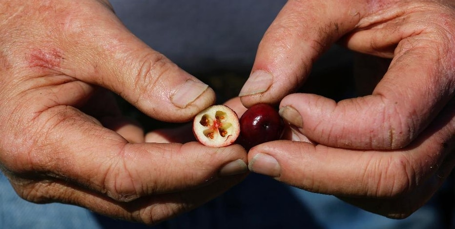 In this Oct. 11, 2016 photo, a worker holds a split cranberry during harvesting on a farm in Ilwaco, Wash. Each fall, cranberry bogs in Western Washington produce solid hues of vibrant red as one of the state's lesser-known crops. (AP Photo/Ted S. Warren)