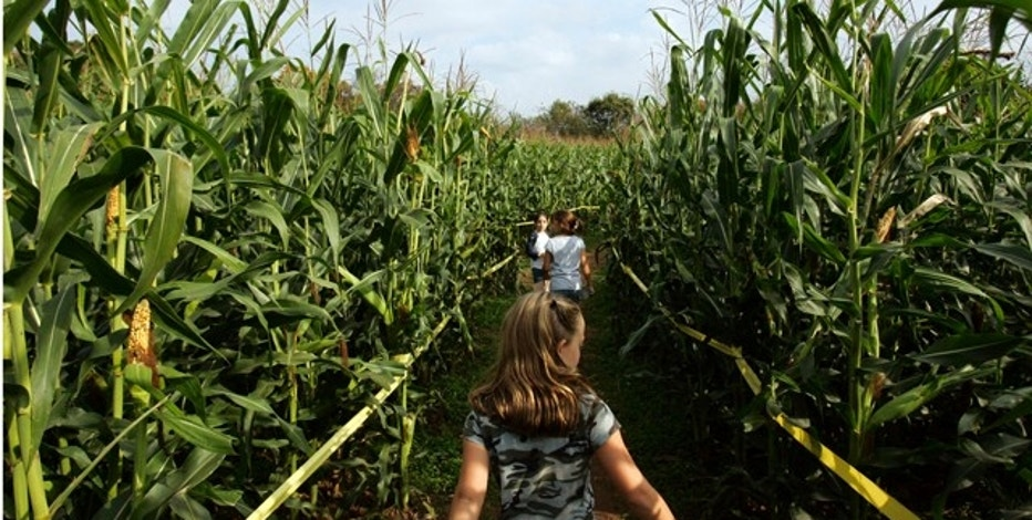 Children try to find their way out of a maze made of corn in South Windsor, Connecticut October 10, 2006. REUTERS/Jessica Rinaldi (United States)