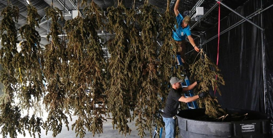 FILE - In this Oct. 4, 2016 file photo, farmworkers inside a drying barn take down newly-harvested marijuana plants after a drying period, at Los Suenos Farms, America's largest legal open air marijuana farm, in Avondale, southern Colo. Newly-approved laws in four states allowing the recreational use of marijuana are seen as unlikely to change rules regarding use of the drug in the workplace. (AP Photo/Brennan Linsley, File)