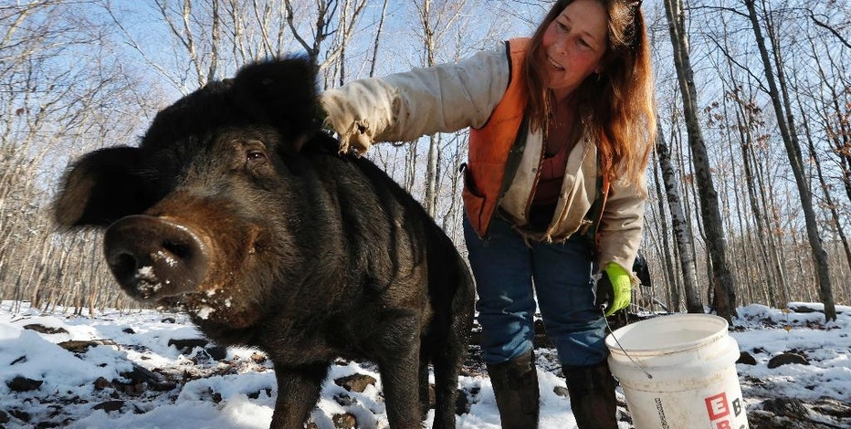 In this Thursday, Dec. 8, 2016, photo Susan Frank pets one of her mulefoot pigs at Dogpatch Farm in Washington, Maine. The American mulefoot hog was once the rarest of all U.S. livestock breeds, and they're still listed as critically rare by the Livestock Conservancy. Frank accounts for about a dozen of the pigs.  (AP Photo/Robert F. Bukaty)