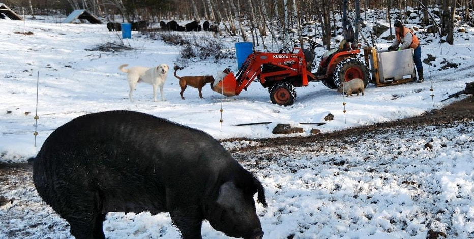 In this Thursday, Dec. 8, 2016, photo Susan Frank prepares to feed her mulefoot pigs at Dogpatch Farm in Washington, Maine. The rare breed enjoys open pasture and woodland at the small farm in rural Maine. Frank says it may sound counterintuitive, but the way to save declining breeds of livestock is to get people to eat them, thereby increasing demand for them. (AP Photo/Robert F. Bukaty)