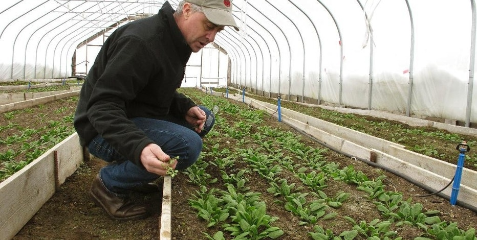 In this Jan. 23, 2017, photo, farmer Joe Buley pulls a weed from a bed of spinach growing in a high tunnel greenhouse at Screamin' Ridge Farm in Montpelier, Vt. Demand driven by the farm-to-table movement knows no seasons, so farmers in colder areas of the country increasingly use such structures to meet wintertime demand for local produce. The federal government helped spur growth in winter farming by providing financial and technical assistance to farmers to install the type of greenhouse to extend the growing season. (AP Photo/Lisa Rathke)