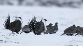 Sage-grouse bird ruling to aid economic and job growth