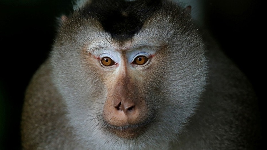 Vw bmw and mercedes tested dirty diesels on monkeys caged for Mercedes benz gas chambers