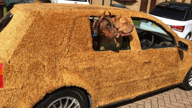 """A chauffeur got so fed up with driving luxury vehicles that he bought himself this £200 runaround - and covered it in FUR. Justin Scrutton, the owner of a chauffeur company, bought the wrecked old Volkswagen Golf because he fancied driving something that he didn't mind if his two dogs ruined. See National News story NNCAR; But the 46-year-old decided to go one step further and spent a barmy £180 covering the ancient Golf in ten metres of teddy-bear fabric. Justin, from Dartford, Kent said: """"I was trying to sleep one night and for some crazy reason I thought 'why not?'"""