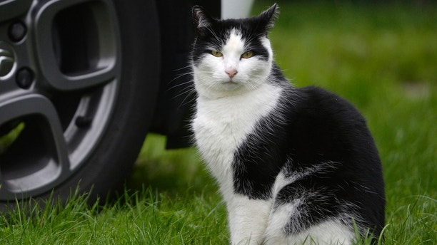 Jacob,6, from Kilmarnock, has made a miracle escape after spending six days in the grill of a car and making an 80 mile round trip.   A miracle cat has survived after being trapped in a car grill for nine days and driven around 80 miles.  See CENTRE PRESS story CPCAT.  Sharon Stirling's beloved moggy Jacob escaped the traumatic ordeal with just a bruised nose -- despite being trapped without food or water for nine days.  The 49-year-old was devastated after thinking she had lost her cat Jacob -- who she says never leaves home -- and even started making posters to try and find him.  But little did she know the seven-year-old black and white cat had been stuck in the grill of her dad's car the whole time.  Sharon, who lives in Kilmarnock, East Ayrshire had swapped cars with her dad Alex, 75 for the day on July 23 after he had a hernia op and couldn't drive.  She says Jacob must have jumped into the grill of her dad's car before she took it to work the following day and then stayed in there for nine days.