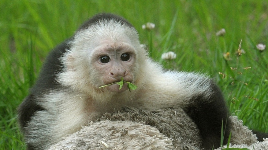 White headed capuchin monkey Mally sits  in the new monkey open-air enclosure at Serengeti Park near Hodenhagen, Germany,  Wednesday June 26, 2013. Mally the monkey, Canadian pop singer Justin Biebers former pet, has emerged from quarantine at his new German home three months after his then-owner brought him to the country. The 27-week-old capuchin monkey moved Wednesday into a new enclosure at the Serengeti Park in Hodenhagen, in northern Germany.    (AP Photo/dpa,Holger Hollemann)