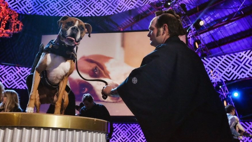 This Saturday, Jan. 10, 2015 photo Eric Felland with his 7 year-old boxer Hanzo, the samarai surfing dog who was nominated as the most talented extreme-sports dog after the taping of the 2015 World Dog Awards at the Barker Hanger in Santa Monica. (AP Photo/Richard Vogel)