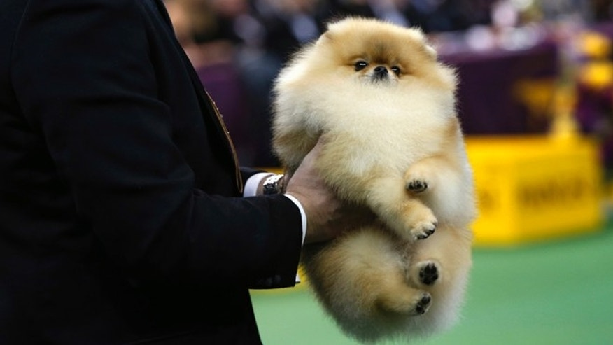 The 2013 Westminster Dog Show