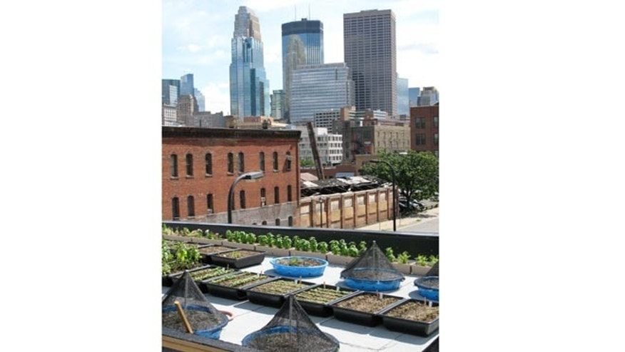 The rooftop vegetable and herb garden of the Bachelor Farmer in Minneapolis, Minn.