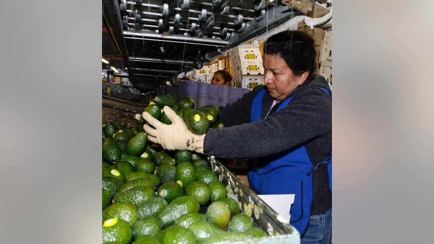 FILE - In this Jan. 7, 2007 file photo, Paula Salgado packs Haas avocados at the Del Rey Avocado Co. in Fallbrook, Calif.