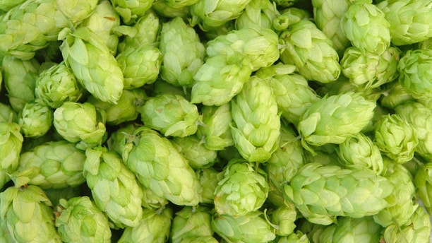 close-up of green hops  useful for background