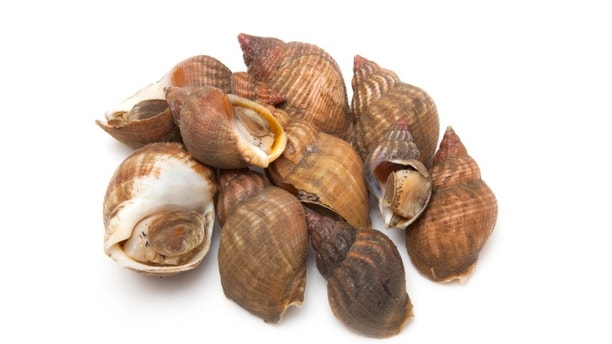 Uncooked fresh common whelks or sea snails isolated on a white studio background. Traditionally  pickled and eaten at the seaside.