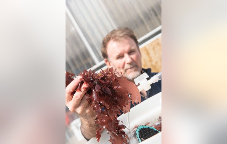 Chris Langdon has been growing and studying dulse at Hatfield Marine Science Center in Newport Oregon for decades and is now working with the Food Innovation Center in Portland on creating healthly and appealing dishes.