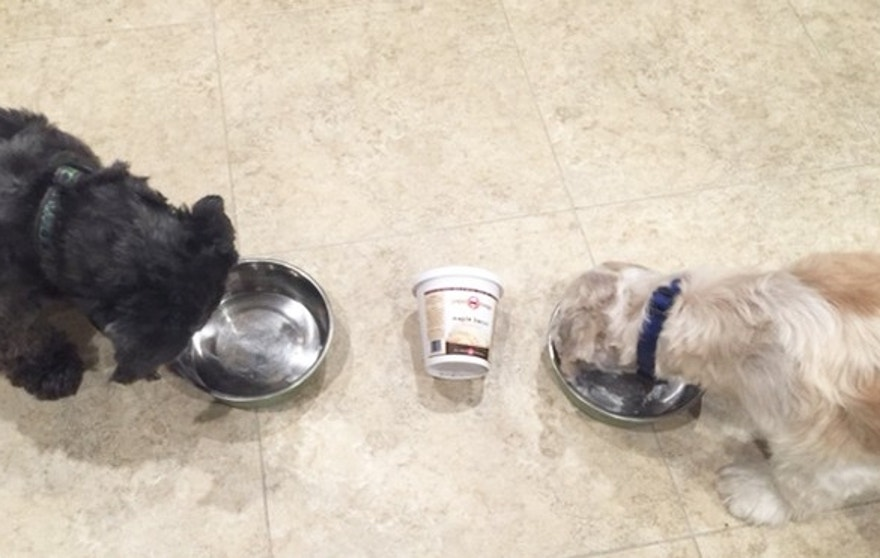 Shih Tzus Cooper and CoCo chow down on Puppy Scoops.