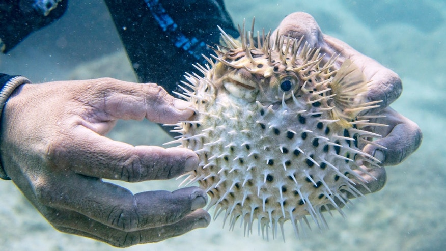 Pufferfish is dangerous to consume if not prepared properly.
